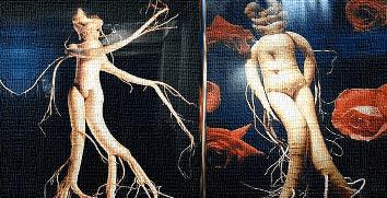 Женьшень – «человек-корень»